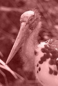 Lesser Adjutant (Leptoptilos javanicus, source: Photo by Greg Hume/Wikicommons)