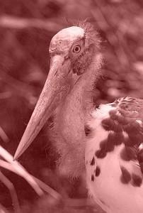 Lesser Adjutant (Leptoptilos javanicus, source: Photo by Greg Hume/Wikicommons)